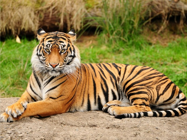Tiger seeking gambar 1