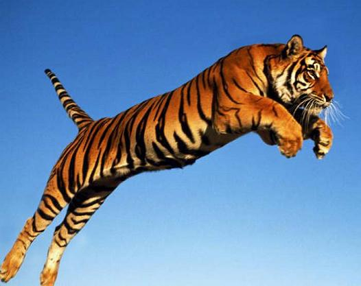 Tiger tracing gambar 2